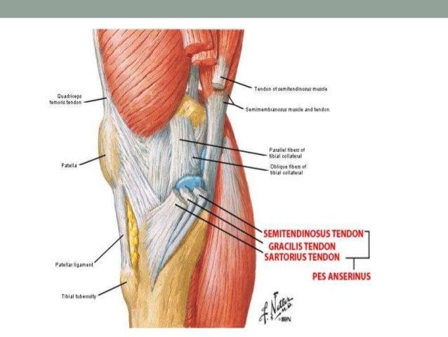 anatomy and examination of the knee