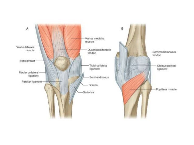 Knee joint anatomy knee 23 ccuart Choice Image