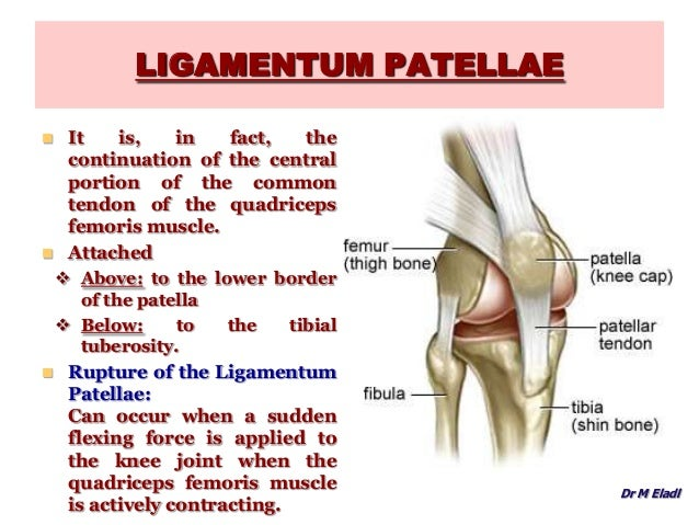 Anatomy Of The Knee Joint 32431921