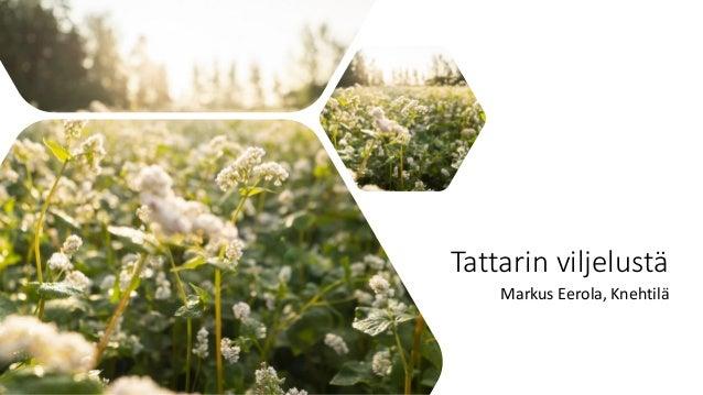 Tattarin viljelustä Markus Eerola, Knehtilä