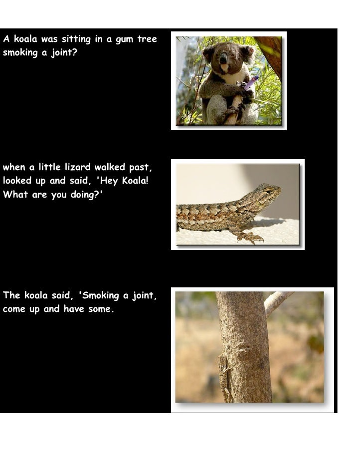 A koala was sitting in a gum tree smoking a joint?     when a little lizard walked past, looked up and said, 'Hey Koala! W...