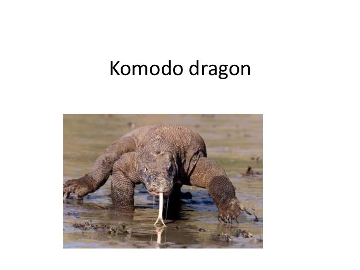 Komodo dragon <br />