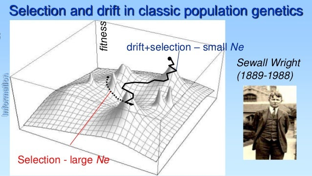 Selection and drift in classic population genetics drift+selection – small Ne Information  Sewall Wright (1889-1988)  Sele...