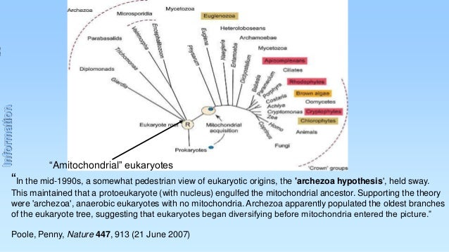 """Information  """"Amitochondrial"""" eukaryotes  """"In the mid-1990s, a somewhat pedestrian view of eukaryotic origins, the 'archez..."""
