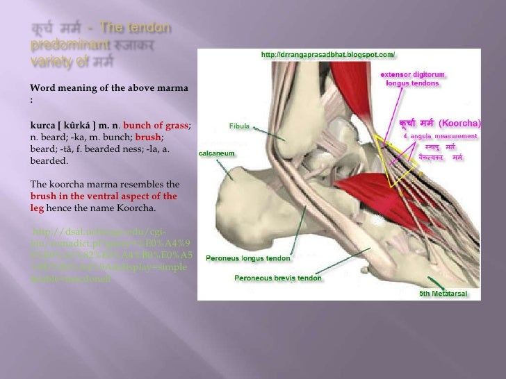 कूर्च मर्म - The tendon predominant रुजाकर variety of मर्म <br />Word meaning of the above marma :<br />kurca [ kûrká ] m....