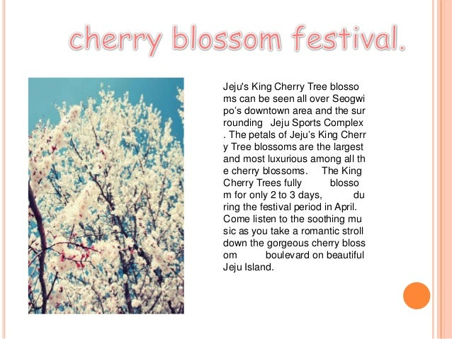 Jejus King Cherry Tree blossoms can be seen all over Seogwipo's downtown area and the surrounding Jeju Sports Complex. The...