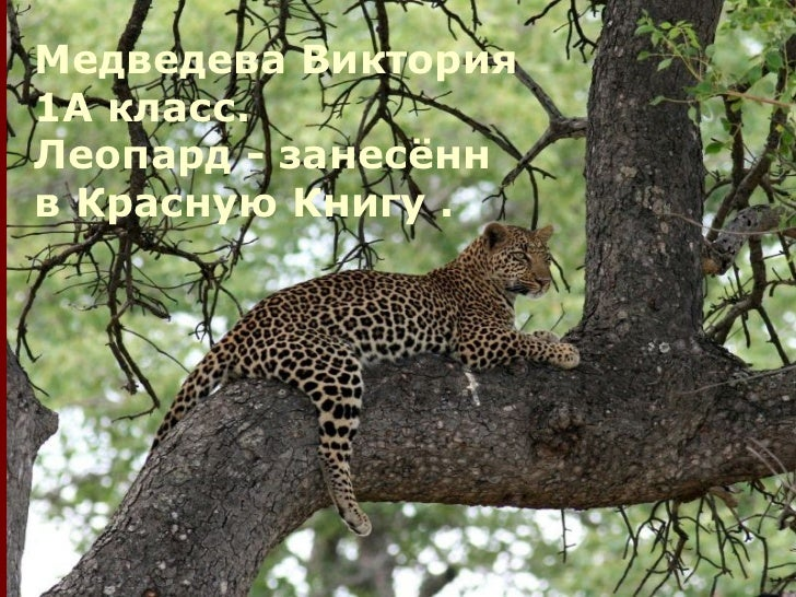 Медведева Виктория1А класc.Леопард - занесённв Красную Книгу .