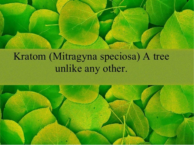 Kratom (Mitragyna speciosa) A tree unlike any other.