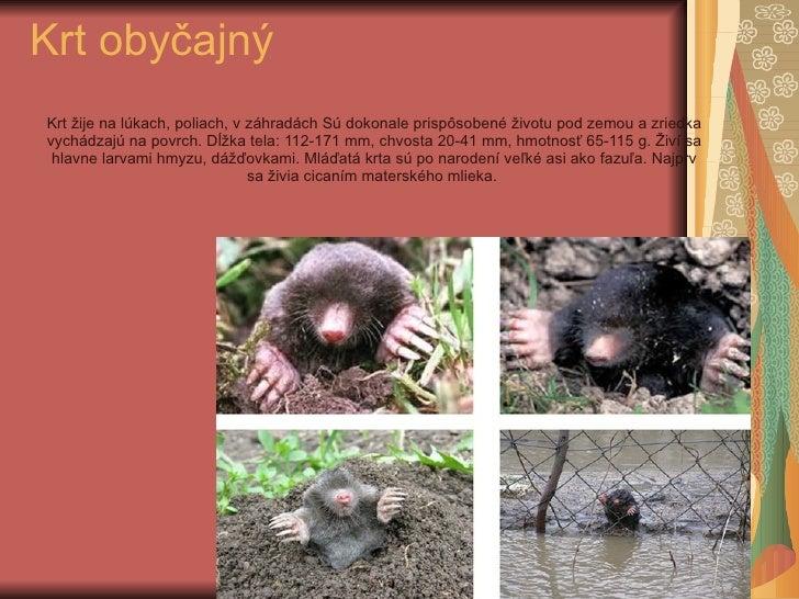 Krt obyčajný Krt žije na lúkach, poliach, v záhradách Sú dokonale prispôsobené životu pod zemou a zriedka vychádzajú na po...