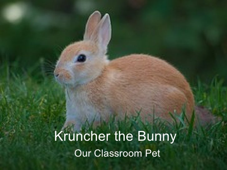 Kruncher the Bunny Our Classroom Pet
