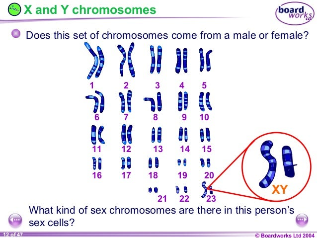 Y And X Genes Related Keywords & Suggestions - Y And X ... X And Y Chromosomes