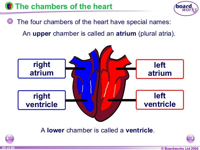ks4 the heart and circulatory system, Human Body