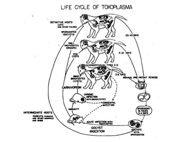 Kucing Dan Toxoplasma 2012 Triakoso