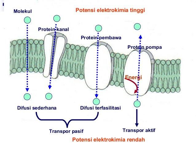 Kuliah 5 transfor pada membran sel 13 ccuart Choice Image