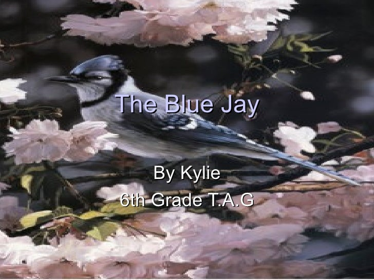 The Blue Jay By Kylie 6th Grade T.A.G