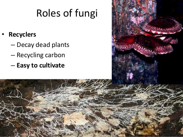 Roles of fungi • Pathogens – Feed off of living plants and causing disease – Can also be pathogens of insects and other an...