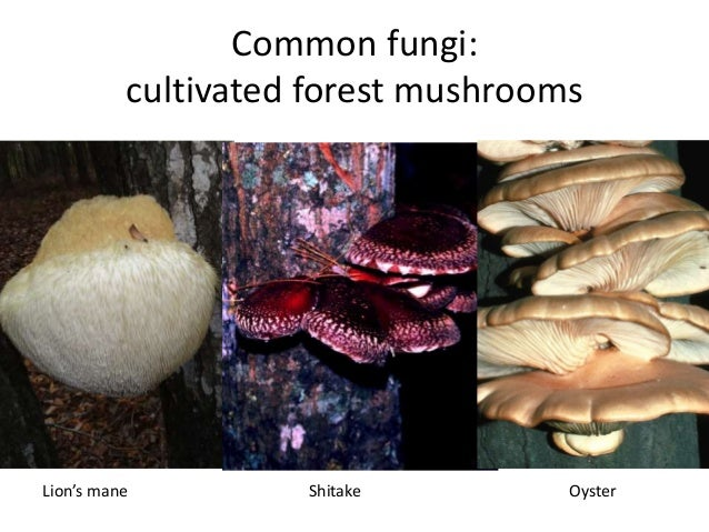 Common fungi: cultivated forest mushrooms Lion's mane Shitake Oyster