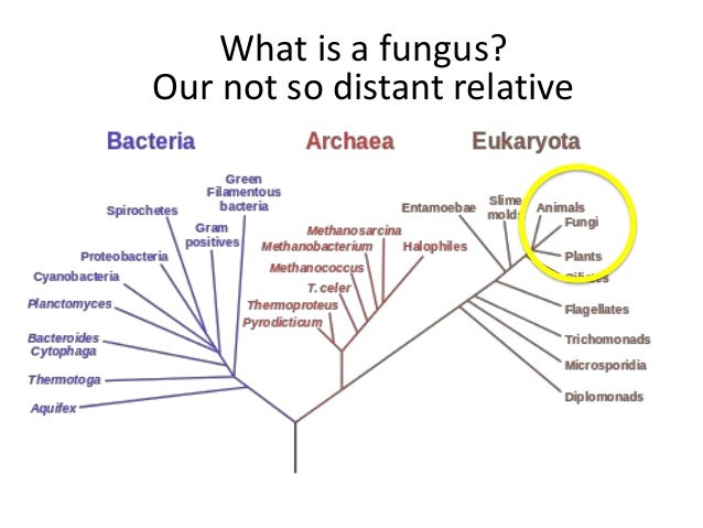 What is a fungus? Mushrooms Yeasts Molds