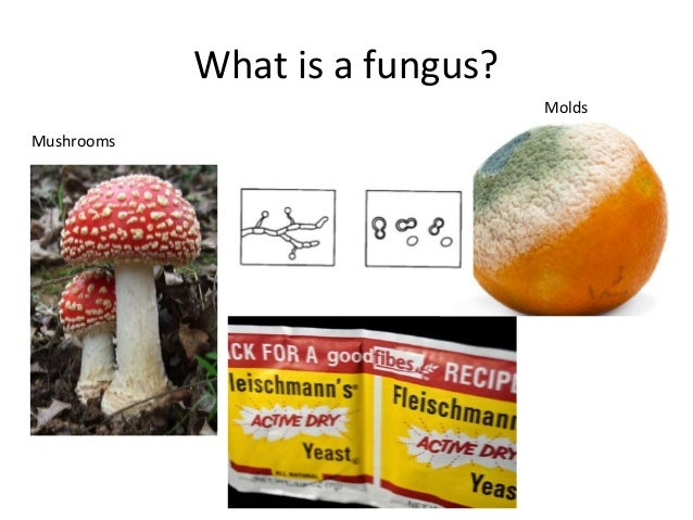Fungi are diverse and abundant! • We estimate that there are over 1.5 million species of fungi, only 5% are currently know...