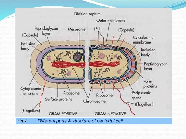 size shape and arrangement of bacterial cell 15 638?cb=1446835252 size, shape and arrangement of bacterial cell