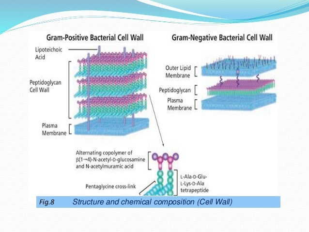 essay on bacterial cell wall composition Bacteria have been classified distinctively into gram- positive and gram negative organism depending on the composition of their cell wall and ability retain basic gram stain and counterstain gram-positive bacteria have thick peptidoglycan which enables it to take up crystal violet and reveals purple colour after gram stain.