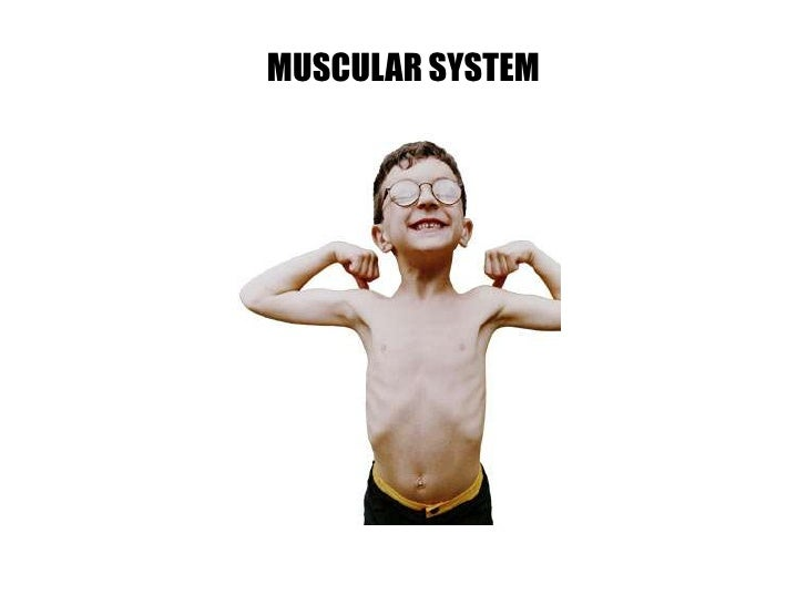 MUSCULAR SYSTEM<br />