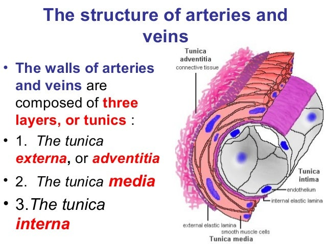 how is the structure of arteries and veins adapted for their function This blog is looking at the structure of the arteries,veins and capillaries and looking at each relate to their function our arteries contain a thick wall, the outer wall contains smooth muscle fibres.