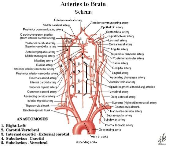 l8 circulation arteries, Cephalic vein