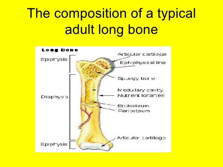 composition of a long bone