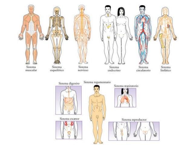 El cuerpo humano: compleja máquina de ingeniería