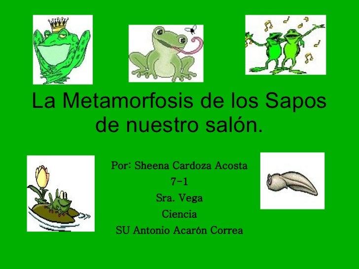 La Metamorfosis de los Sapos de nuestro salón. Por: Sheena Cardoza Acosta 7-1 Sra. Vega Ciencia SU Antonio Acarón Correa
