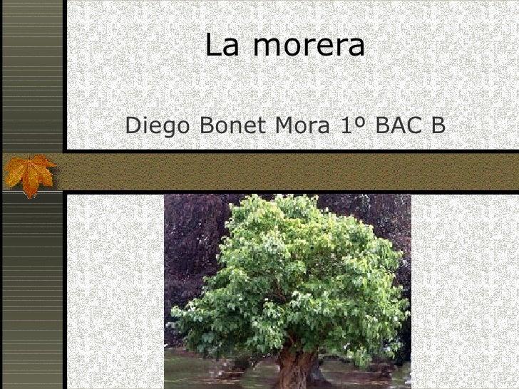 La morera Diego Bonet Mora 1º BAC B