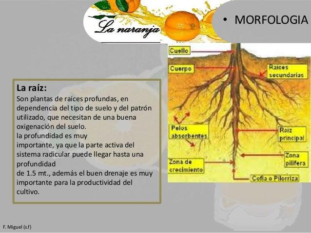 La naranja for Tipos de arboles y caracteristicas