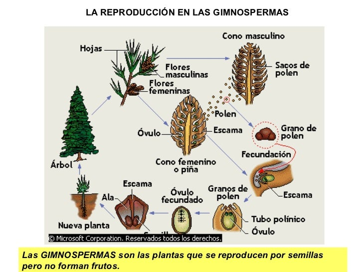 Nombre de una planta que se reproduce sexualmente