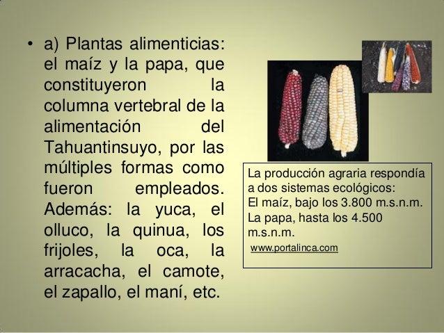 • a) Plantas alimenticias: el maíz y la papa, que constituyeron la columna vertebral de la alimentación del Tahuantinsuyo,...