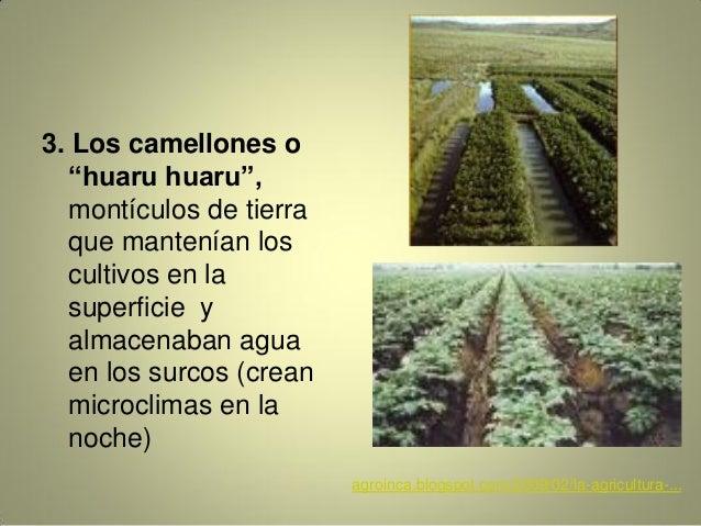 """3. Los camellones o """"huaru huaru"""", montículos de tierra que mantenían los cultivos en la superficie y almacenaban agua en ..."""