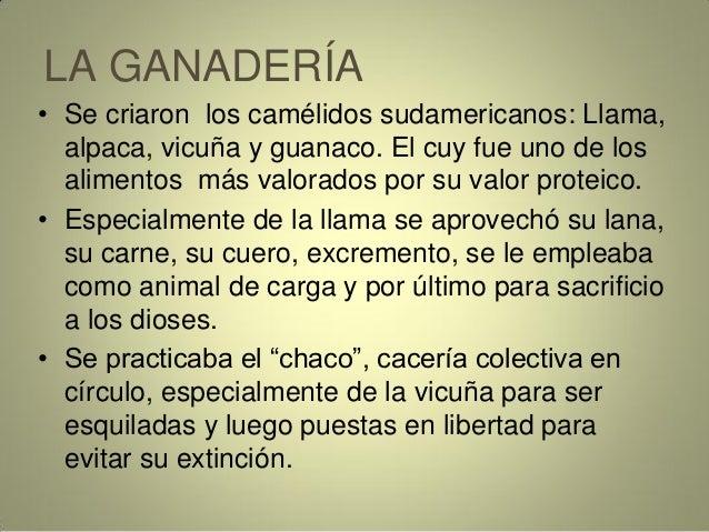 LA GANADERÍA • Se criaron los camélidos sudamericanos: Llama, alpaca, vicuña y guanaco. El cuy fue uno de los alimentos má...
