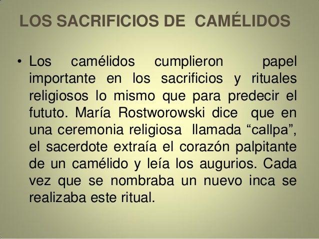 LOS SACRIFICIOS DE CAMÉLIDOS • Los camélidos cumplieron papel importante en los sacrificios y rituales religiosos lo mismo...