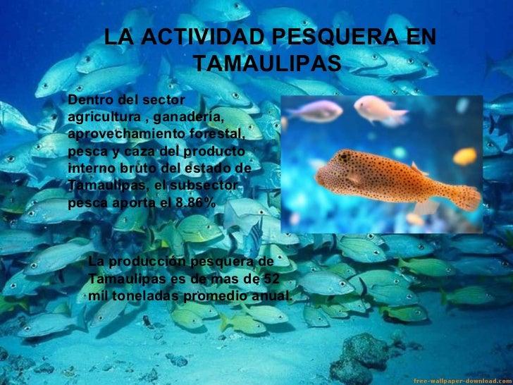 LA ACTIVIDAD PESQUERA EN TAMAULIPAS  Dentro del sector agricultura , ganadería, aprovechamiento forestal, pesca y caza del...