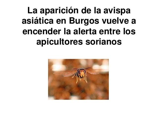 La aparición de la avispa asiática en Burgos vuelve a encender la alerta entre los apicultores sorianos