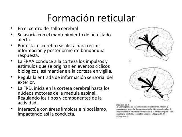 Lóbulos Frontales• Participan en la regulación de todos  los procesos psicológicos.• En situaciones que demanda  atención ...