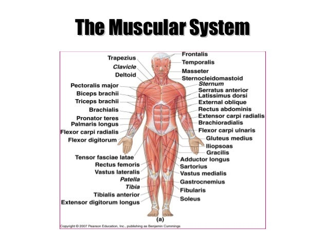 Lab Anatomy of Muscular System