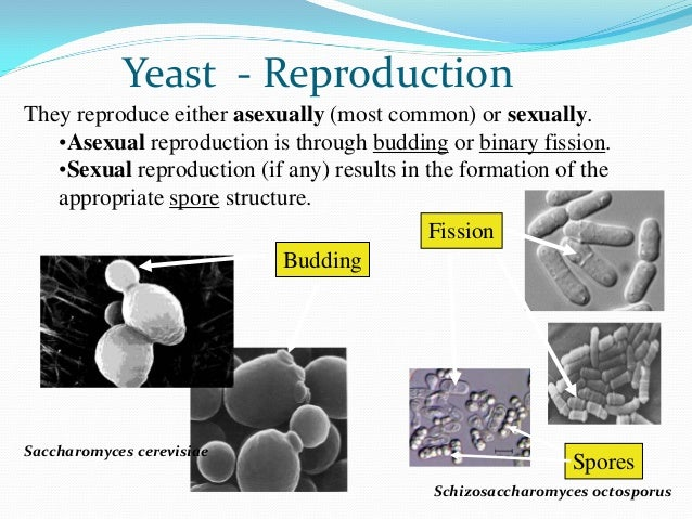 Asexual reproduction in the yeast