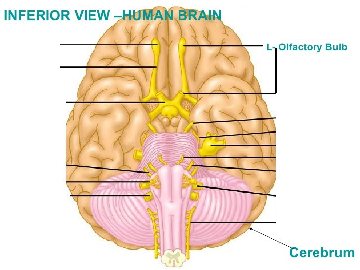 Lab13 task3ppt l olfactory bulb inferior view human brain cerebrum ccuart Image collections