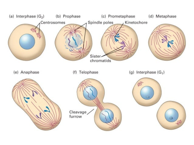 how to draw the prophase chromosomes
