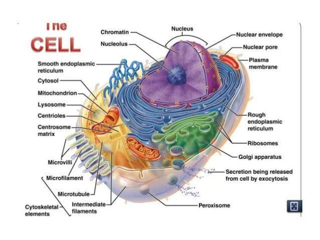 The cell anatomy