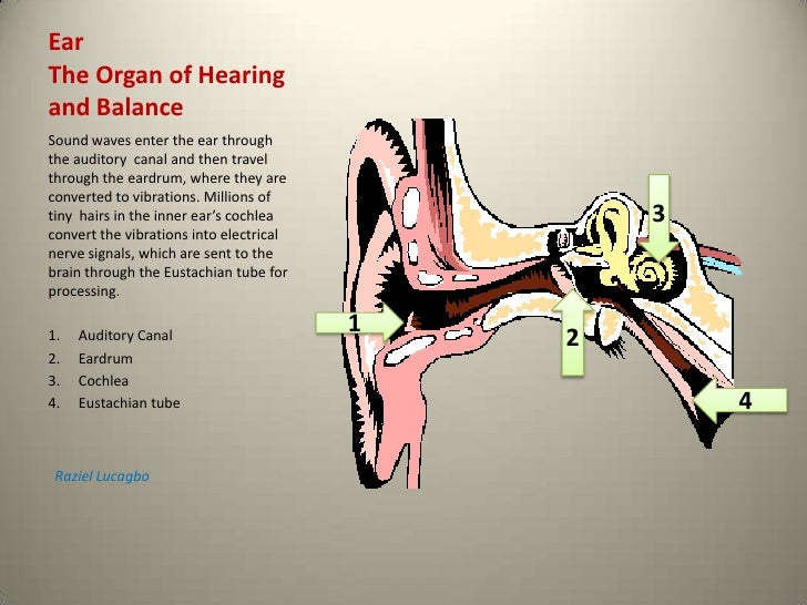 Ear The Organ of Hearingand Balance<br />Sound waves enter the ear through the auditory  canal and then travel through the...