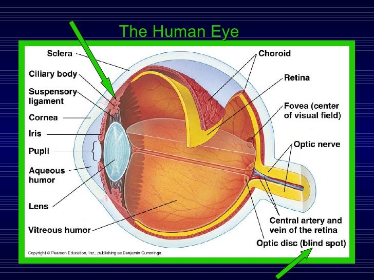 Lab 3 Sensory Physiology – Sheep Eye Dissection Worksheet