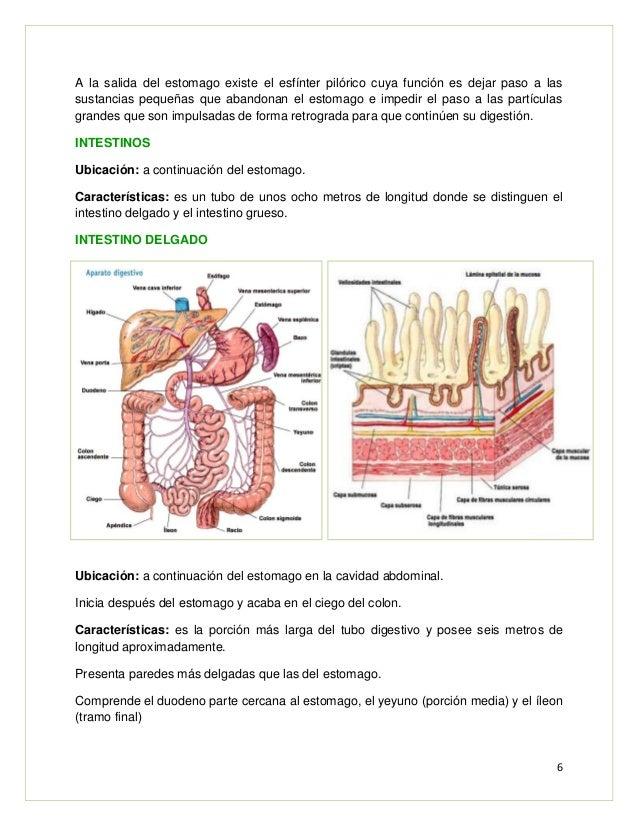 Lab 4 aparato digestivo