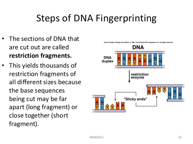 essay on dna fingerprinting Dna contains genetic material and information that makes up each individual trait every person can be identified by providing his or her genetic information based on a particular dna.